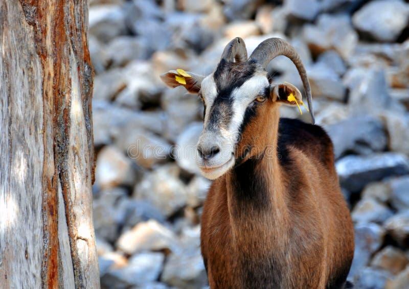 Wild goat (Kri-Kri) royalty free stock images