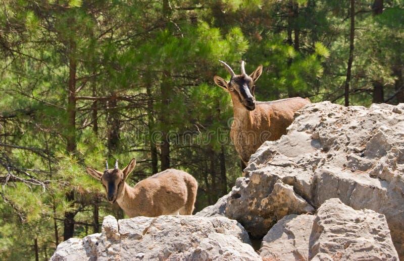 Wild goats kri-kri in Samaria Gorge. Wild goats kri-kri in Samaria Gorge, Crete, Greece royalty free stock images
