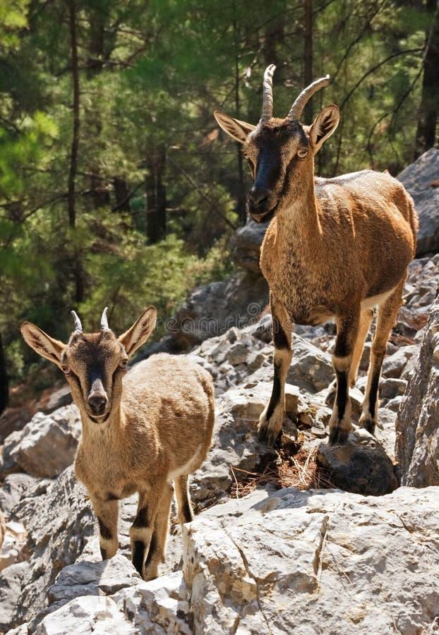 Wild goats kri-kri in Samaria Gorge. Crete, Greece royalty free stock photography