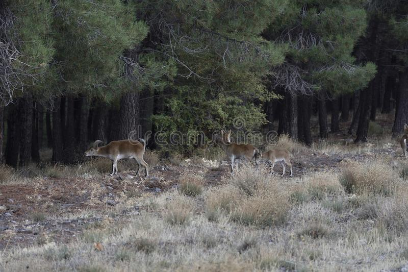 Wild goats among the pines looking to graze fresh grass royalty free stock photo