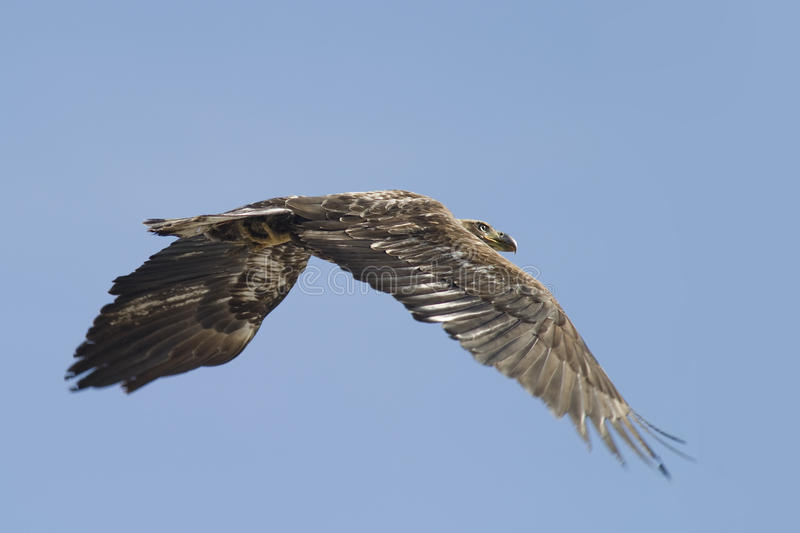 Wild golden eagle. Young golden eagle flying in sky royalty free stock image