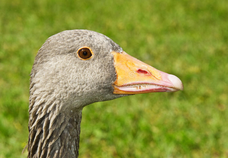 Download Wild goose stock photo. Image of single, quack, farm - 26213480
