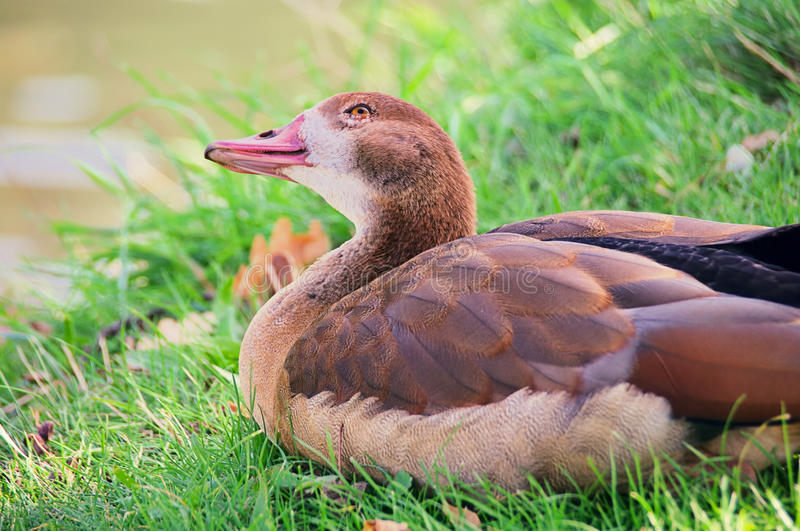 Download Wild goose stock photo. Image of agriculture, green, animal - 29135300