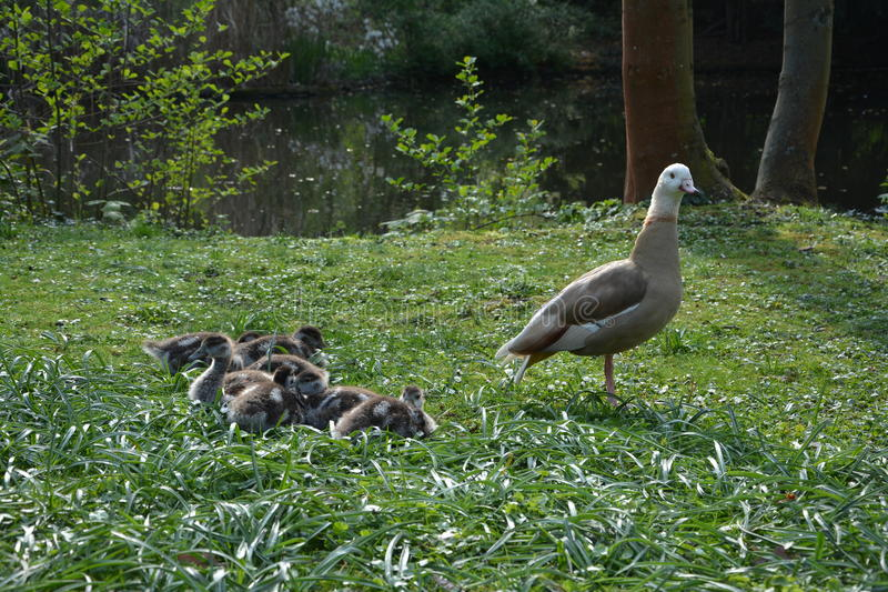 Wild Goose with chicks stock images