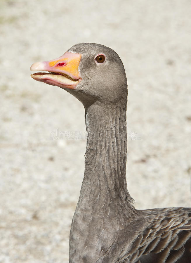 Download Wild goose head stock image. Image of profile, background - 26213531
