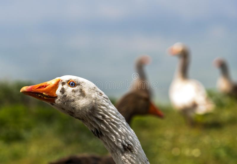 The wild goose head stock images