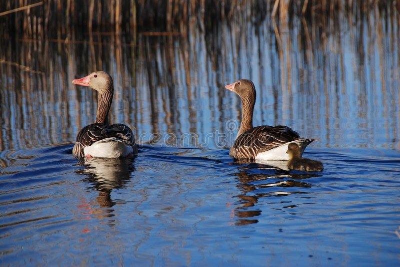 Download Wild gooses stock photo. Image of wild, feather, nature - 5359700