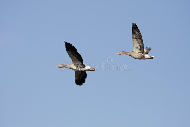Download Wild Gooses, Lower Saxony, German Stock Photo - Image: 12494084