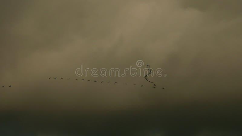 Wild Gooses on Spring sky stock photo