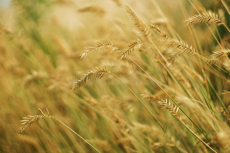 Wild grain close-up royalty free stock photo