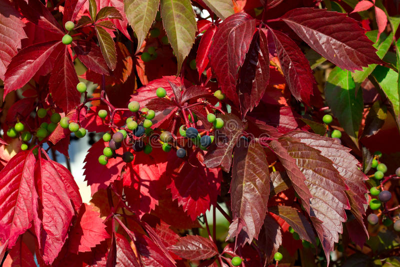 Download Wild Grape In Autumn Royalty Free Stock Photos - Image: 26848358
