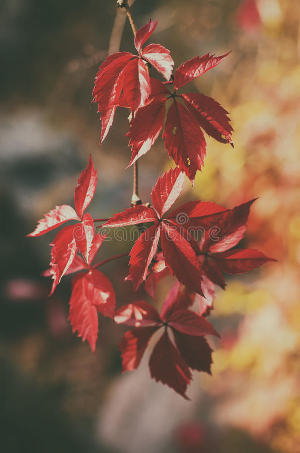 Download Wild grape red leaves stock photo. Image of foliage, grow - 83710814