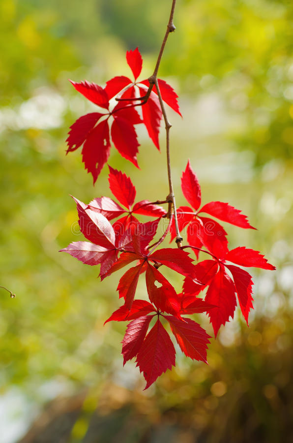 Download Wild grape red leaves stock image. Image of growth, grow - 83712035