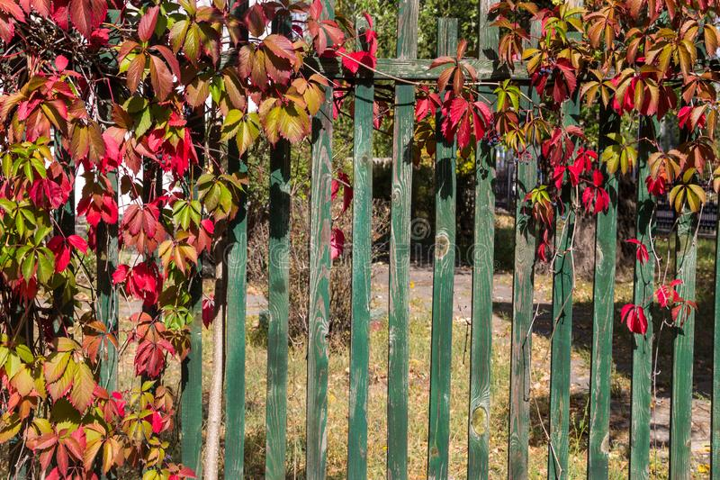 Wild grape vines on a green wooden fence on autumn stock images