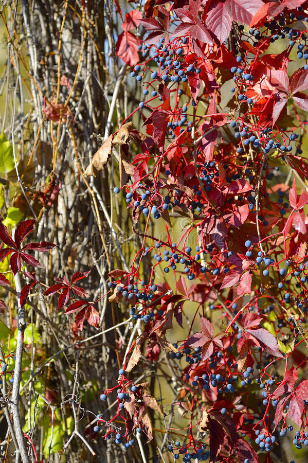 Download Wild grapes stock photo. Image of wild, autumn, blue - 27106652