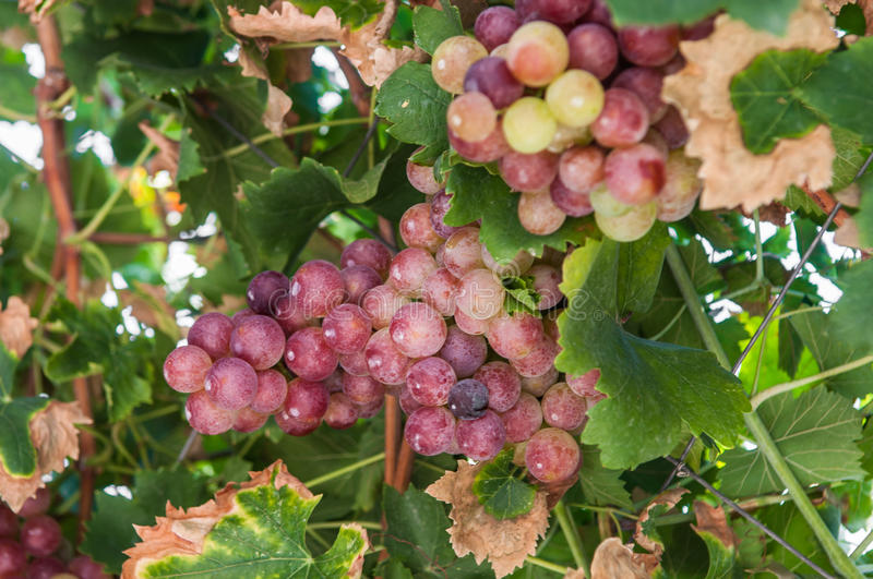 Download Wild grapes stock image. Image of color, hanging, selective - 27115565