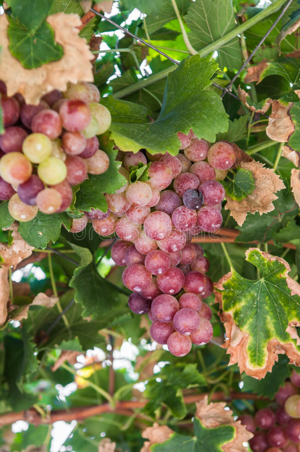 Download Wild grapes stock photo. Image of leaf, autumn, color - 27115574