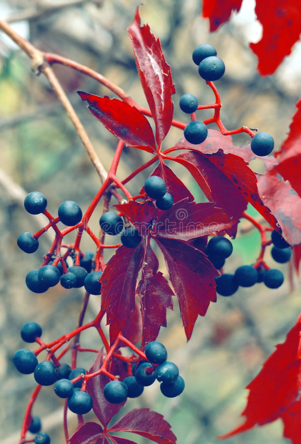 Download Wild Grapes Ontario Canada stock image. Image of wild - 4026661