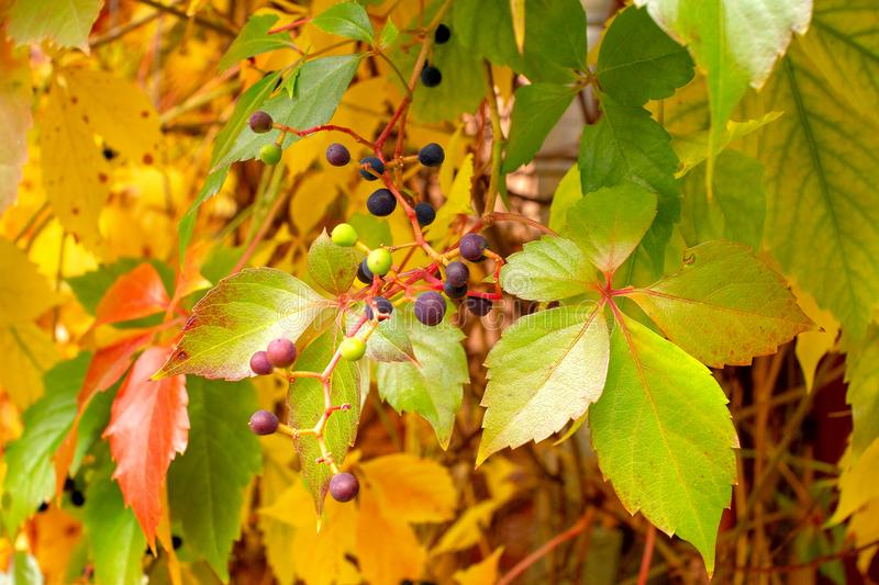 Wild grapes with red leaves solid background stock image