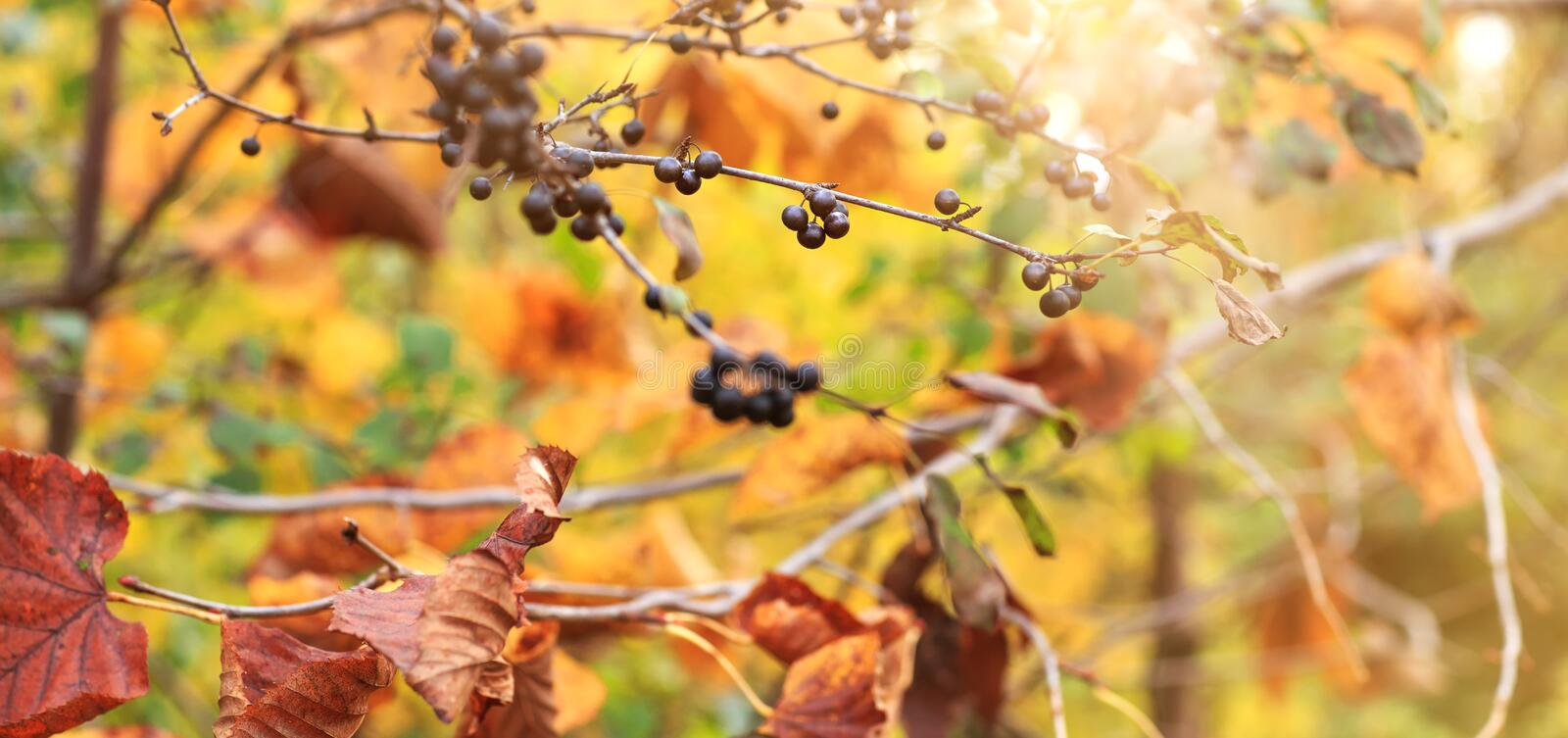 Wild grapes and colorful red and yellow leaves on the autumn for royalty free stock photo