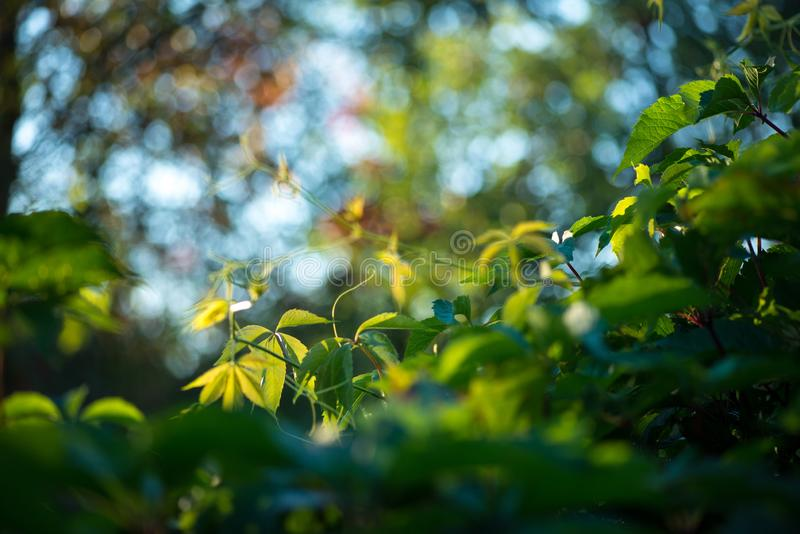 Wild grapes leaves living fance lit by warm sun. Spring nature Selective focus macro shot with shallow DOF stock photos