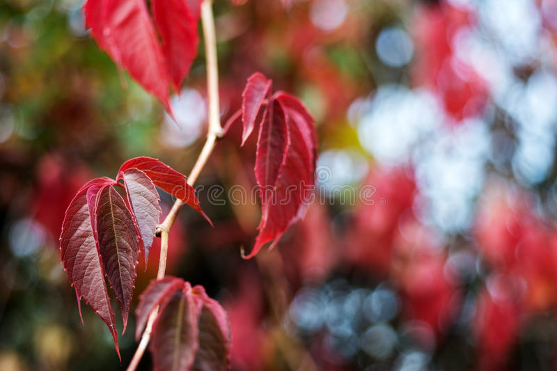 Wild grapes red fall leaves background stock image