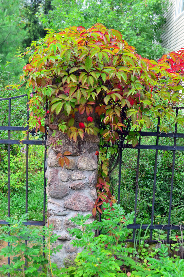Free Wild Grapes With Leaves Begins To Redden On A Stone Fence Post Royalty Free Stock Photo - 59239765