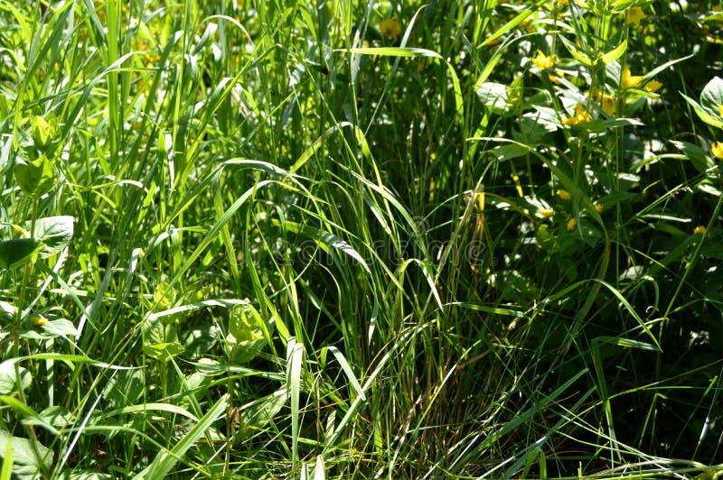 Wild Gras royalty-vrije stock afbeelding