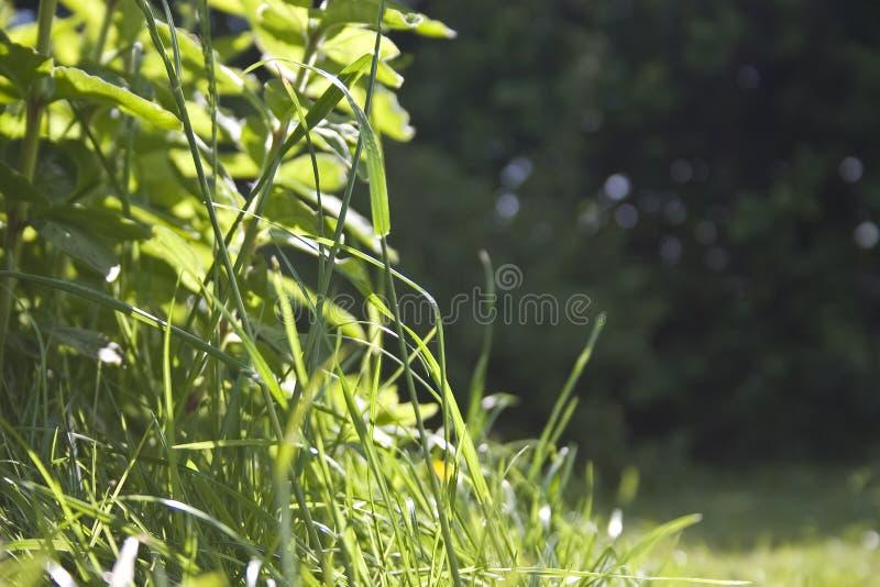 Wild Gras royalty-vrije stock afbeeldingen