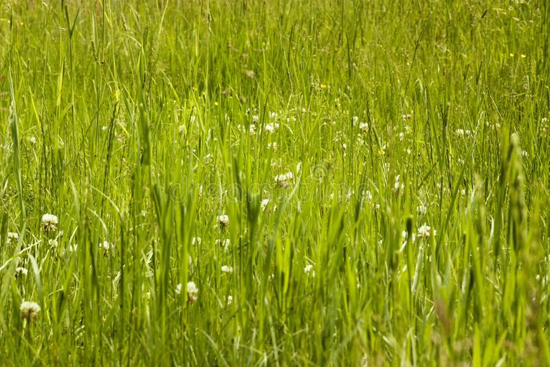 Wild gras land. A look into green wild gras land with tall gras and tiny white blossoms in between royalty free stock photography