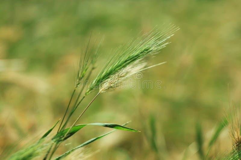 Wild gras met aartjes die regelmatig in wind, de installaties van de muurgerst slingeren Groen gras met gouden en pluizige oren,  royalty-vrije stock afbeeldingen