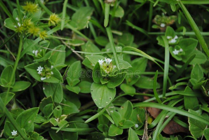 Wild Gras met Witte Bloemen royalty-vrije stock fotografie