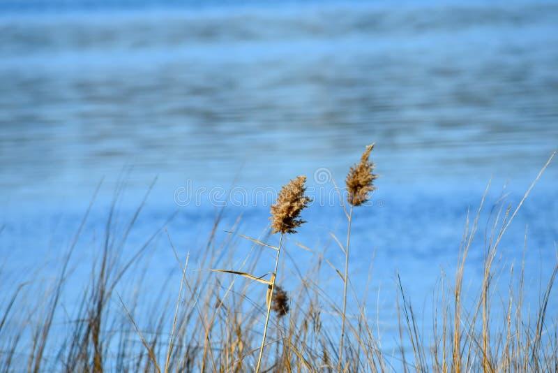 Wild gras met Yeocomico R stock foto