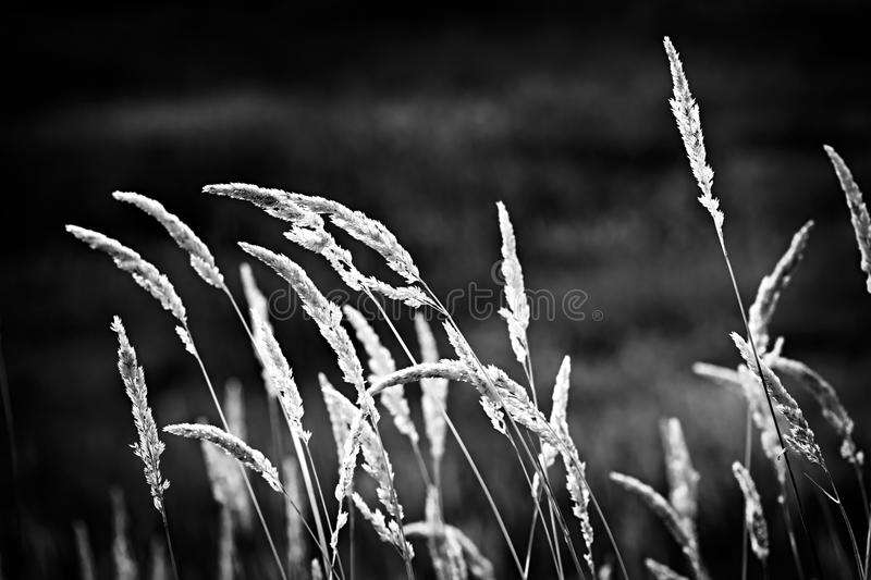 Wild grass in black and white stock images