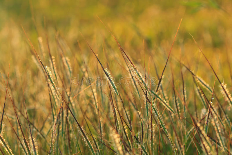 Wild grass in bright sunset royalty free stock photos