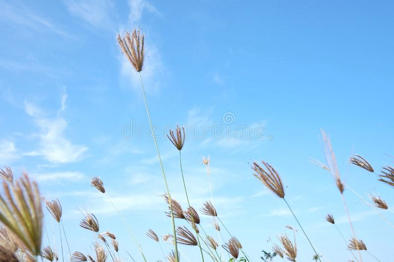 Wild grass flower blossom in a garden against blue sky white fluffy clouds in bright day. Wild grass flower blossom garden against blue sky white fluffy clouds royalty free stock photos