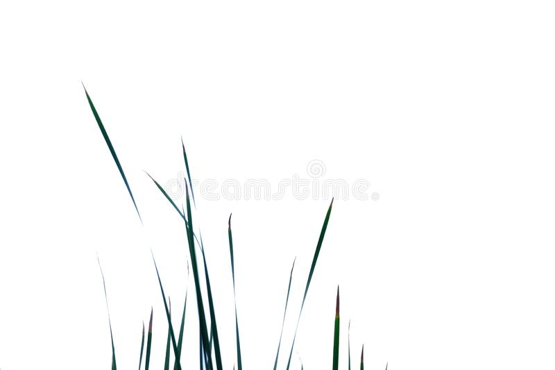 Wild grass leaves on white isolated background for green foliage backdrop royalty free stock photography