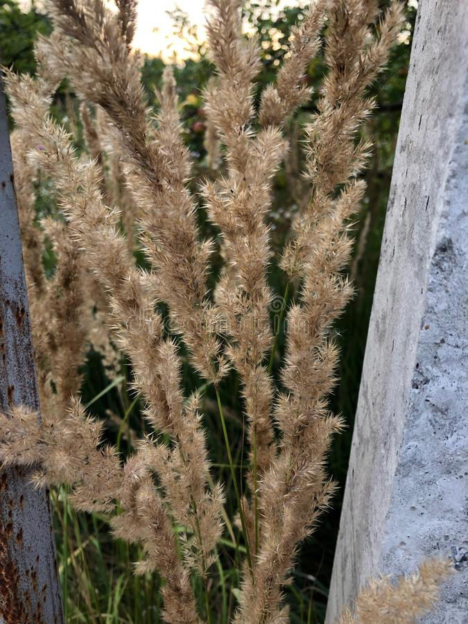 Wild grass with spikelets on the background of green grass royalty free stock photography