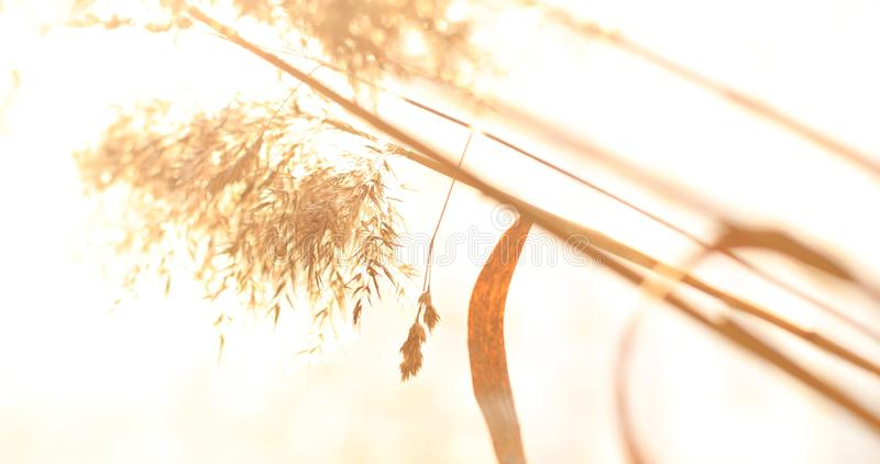 Wild grass with spikelets smoothly swinging in wind, summer plants royalty free stock photos