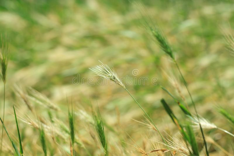 Wild grass with spikelets smoothly swinging in wind,wall barley plants. Green grass with golden and fluffy ears, nature royalty free stock photos