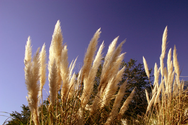 Download Wild Grasses stock photo. Image of blue, fall, grass, bright - 1354226