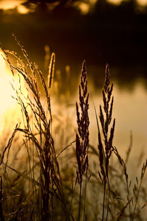 Free Wild Grasses Royalty Free Stock Photos - 3922098