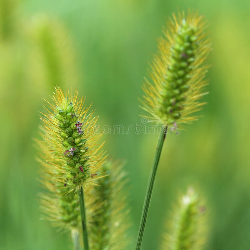 Wild Grasses royalty free stock images