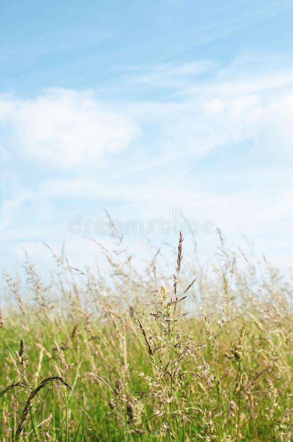 Wild Grasses in Summertime under Blue Sky with White Clouds royalty free stock photography
