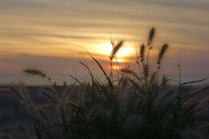 Wild grasses by sun by sunset. With yellow sky royalty free stock images