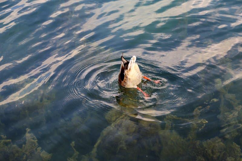 Wild gray ducks bathe on the lake.  royalty free stock photo