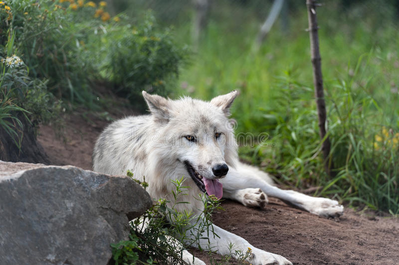 Wild gray wolf royalty free stock images