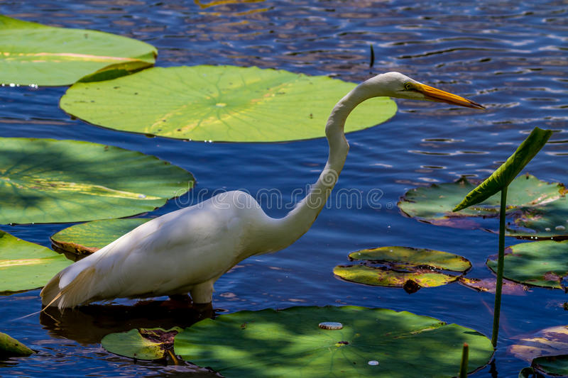 A Wild Great White Egret, (Ardea alba) Among Lotus Water Lilies in Texas. A Wild Great White Egret, (Ardea alba), Out Hunting for Fish in Beautiful Yellow Lotus stock image