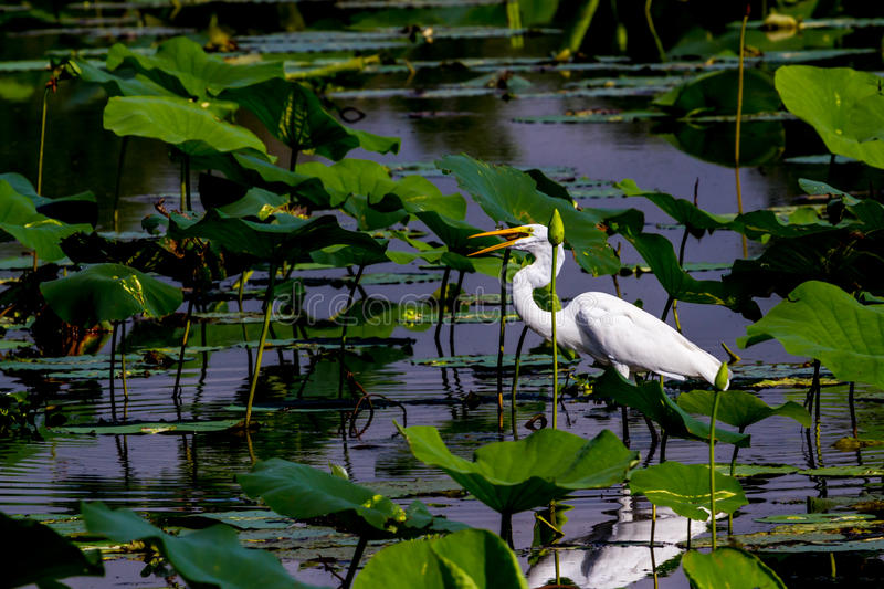 A Wild Great White Egret Hunting for Fish at Brazos Bend. A Beautiful Wild Great White Egret, (Ardea alba), with a Caught Fish in it's Beak Among Beautiful stock image