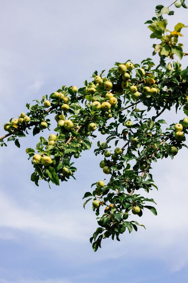 Wild green apples on a branch against a blue sky stock photography